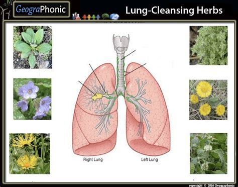 5 Herbs To Detox Lungs by Lung Cleansing Herbs