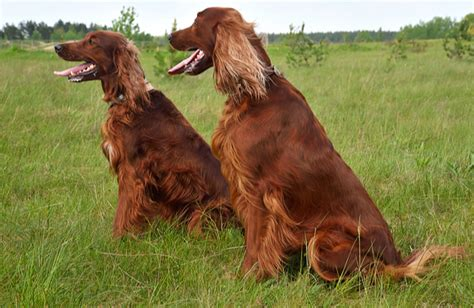 irish setter dog characteristics irish setter breed history information and pictures