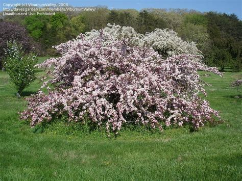 u of mn cherry trees sargent s crabapple candymint malus sargentii resistant to scab says u of mn crabapple