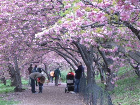 cherry tree near me 5 reasons why i find this year s allergy season especially aggravating patient povpatient