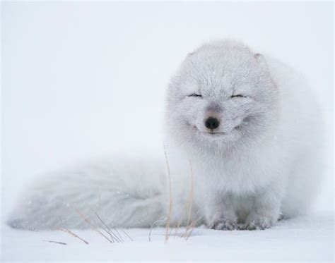 1000 Images About Arctic Animals - 1000 images about arctic fox on snow fox