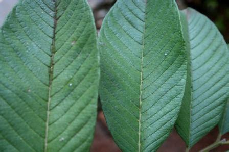 Daun Jambu Batu Segar obat jerawat tradisional alami buat anak sekolahmajalah ouch