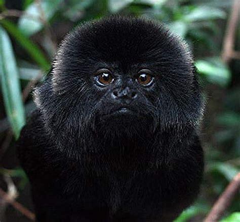 Geoldi S Marmoset Black Monkey Hiding In The