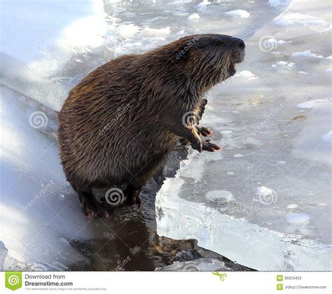 beaver  ice stock image image  beaver snow wildlife