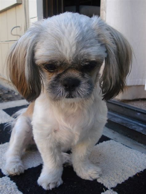 breeds like shih tzu pictures of shih tzu breed puppy