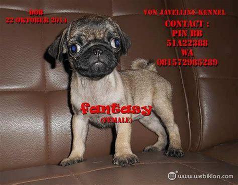 anjing pug jual anjing pug di bandung web iklan