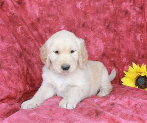 are golden retrievers loyal loyal golden retriever pups craigspets