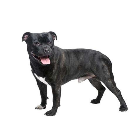 alimentazione staffordshire bull terrier razza staffordshire bull terrier cani it