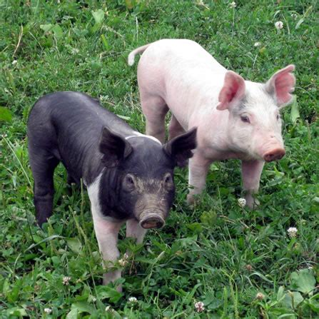 Animal Farm Pig about the pigs at clark s elioak farm the petting farm