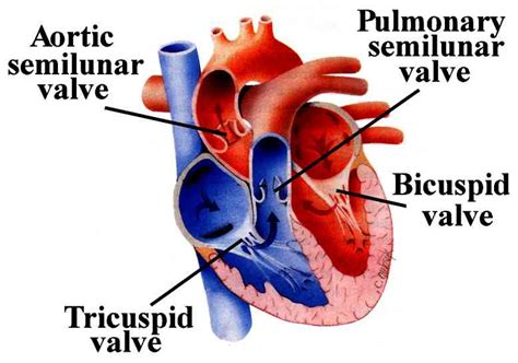 4 sections of the heart heart valve replacement surgery need types procedure