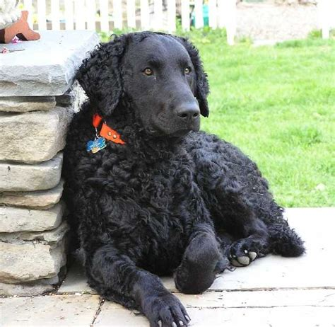 curly coated retriever puppies for sale 104 best images about curly coated retriever on coats poodles and