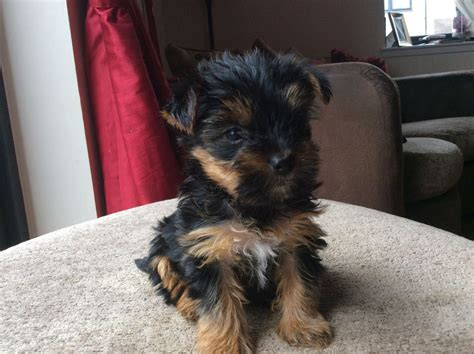 pedigree yorkie puppies for sale pedigree terrier puppies dundee angus pets4homes