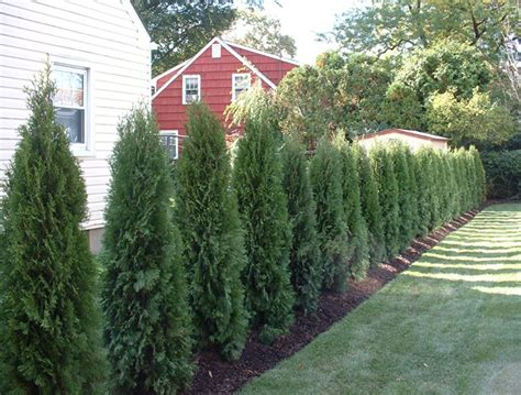 Privacy Trees For Backyard by Backyard Landscape Designs Creating A Privacy