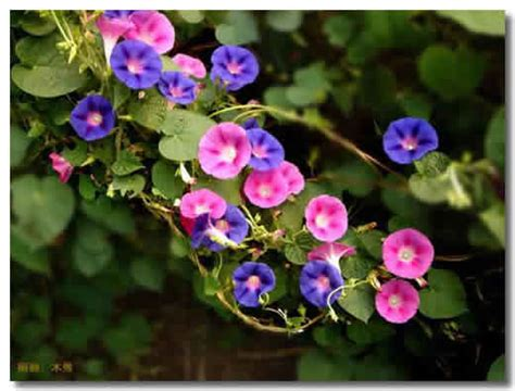 Morning Pharbitis Nil T1310 牵牛花的常见品种 园艺花卉