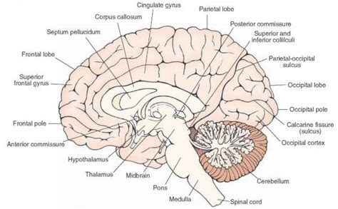 medial section of brain cerebral cortex operative neurosurgery