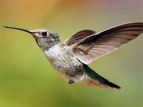 beautiful hummingbird bird desktop backgrounds