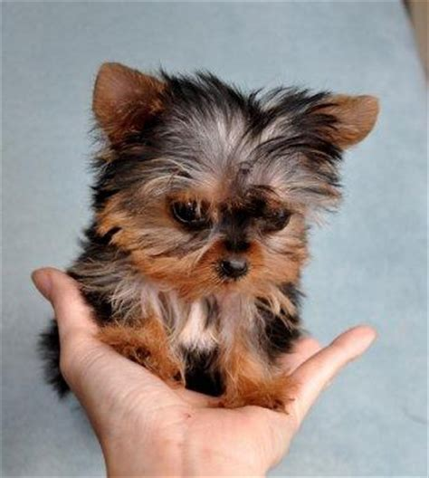 regalo mini toy yorkshire terrier cachorros milclasificados