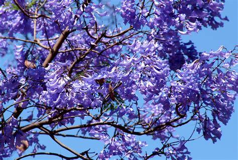 imagenes de flores jacaranda cultura guaran 237 la leyenda del jacaranda