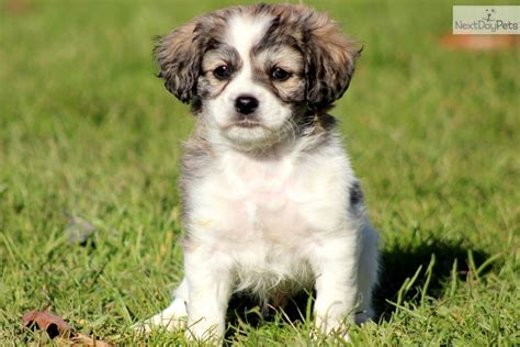 shi poo shih poo shihpoo puppy for sale near lancaster