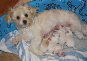 princess puppies maltese chihuahua puppy breeds picture