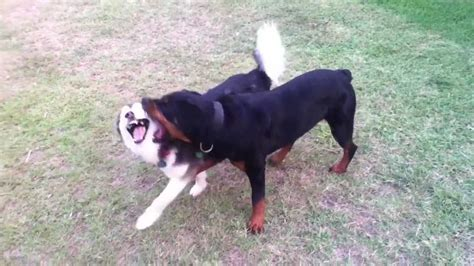 rottweiler and husky husky vs rottweiler musky and buffy