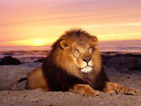 wallpaper free lion lion hd wallpaper free download lion close view photo