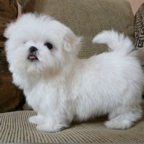 tea for dogs 25 best teacup puppies ideas on teacup dogs teacup puppies and