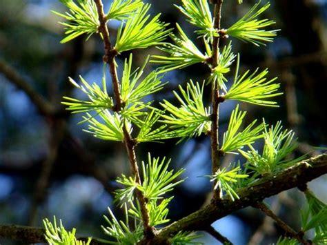 Baum Des Jahres 2012 5368 by Treedd 187 L 228 Rchennadeln In B 252 Scheln B 228 Ume F 252 R Dresden