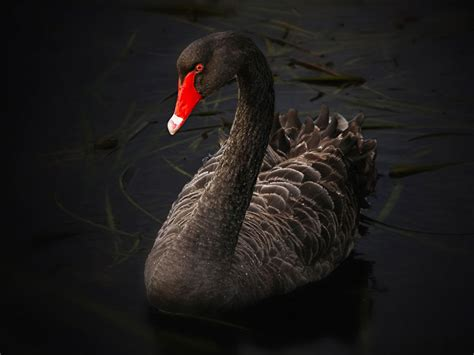 black swan swan symbolism the black swan wild gratitude