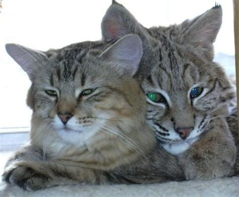 bobcat vs domestic cat images bobcat identification help adkhighpeaks