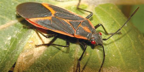 maple tree bugs boxelder bugs in central oregon arbor 1 tree service arborists