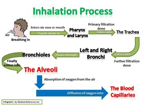 inhalation diagram 25 best ideas about respiratory system on