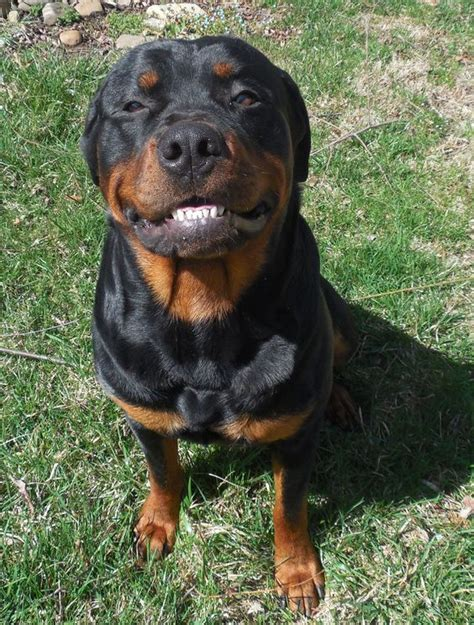rottweiler teeth smile rottweilers and a smile on