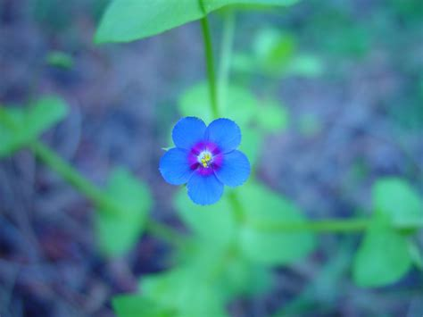 small flower plants file small blue flower jpg