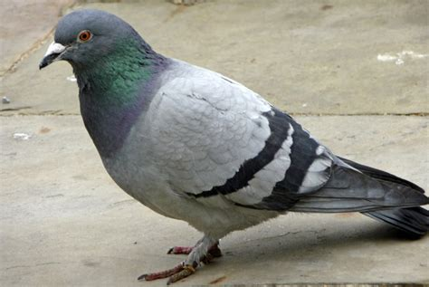 file rock dove feral pigeon columba livia geograph