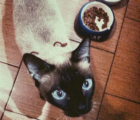8 Reasons To Get A Siamese Cat by 8 Reasons Why Your Siamese Cat Talks So Much Petcha