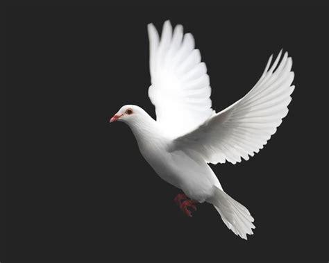 imagenes de palomas blancas gratis imagenes de palomas blancas volando foto bugil bokep 2017