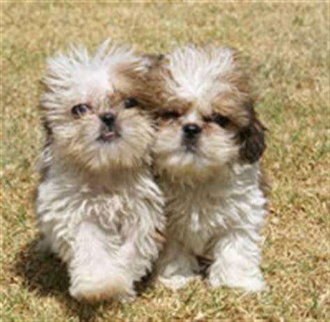 pug precio argentina cachorros de raza pug clasificados