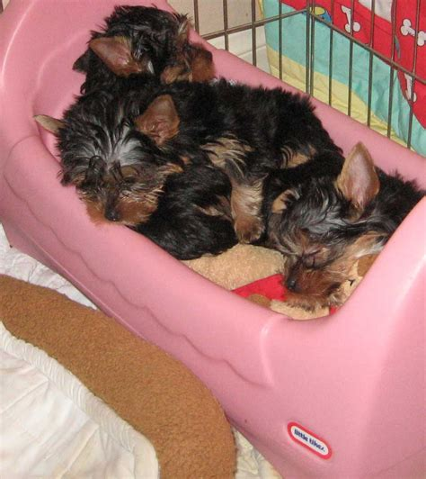 yorkie puppy tips yorkie tips and terrier information design breeds picture