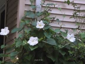 moon flowers et lis harvest moon flower