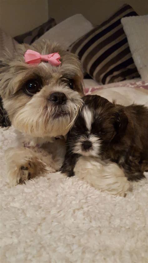 beautiful shih tzu beautiful shih tzu puppies yeovil somerset pets4homes