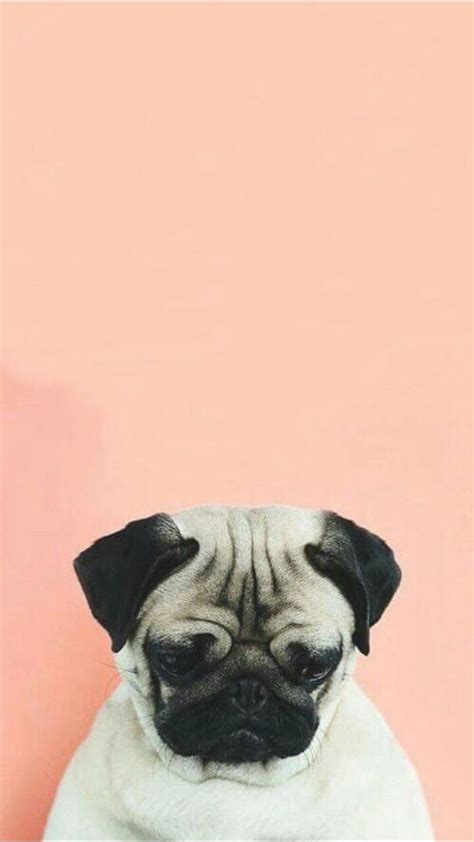 buy pug puppies uk the 25 best wallpaper ideas on wallpaper illustration