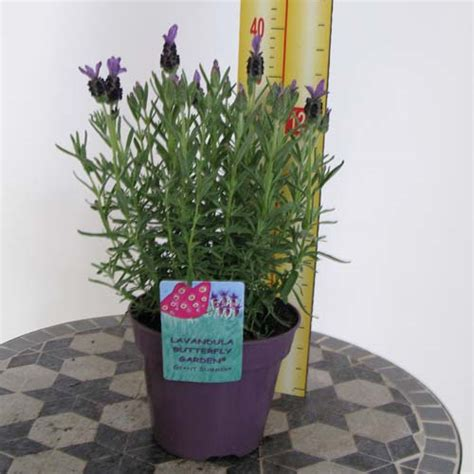 cheap french lavender plants online buy lavender plants essex garden centre