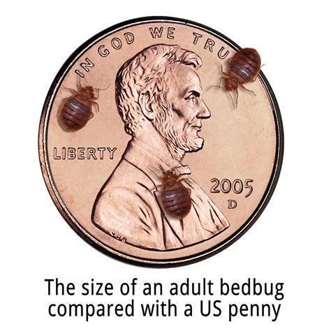 how big is a bed bug what do bed bugs look like