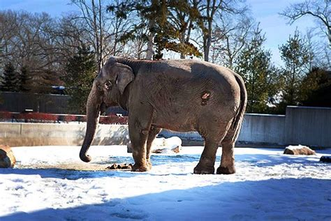 does lincoln park zoo elephants is your zoo ranked one of the terrible ten for elephants