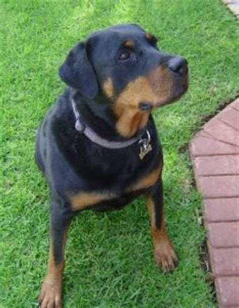 best food for rottweilers best food for rottweilers here s the best options stop that