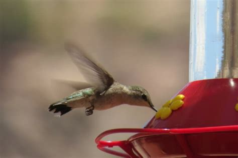 hummingbird food simple recipe but important rules to follow