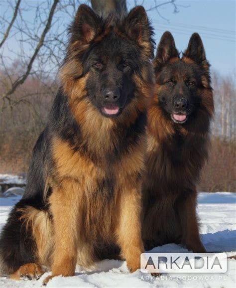 king german shepherd beautiful king and dreams on