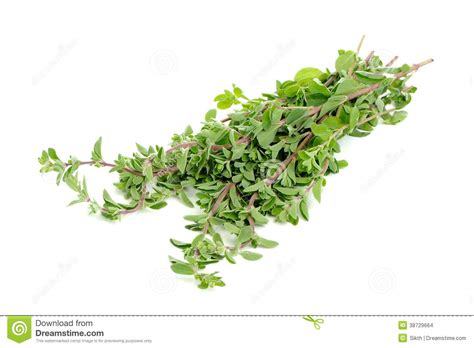 hanging bunches of fresh spicy herbs isolated on white bunch of marjoram herb isolated on white stock images