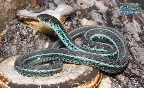Garden Snake South Florida Florida Blue Garden Snake Reptiles Hibians